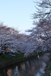 桜トンネル3