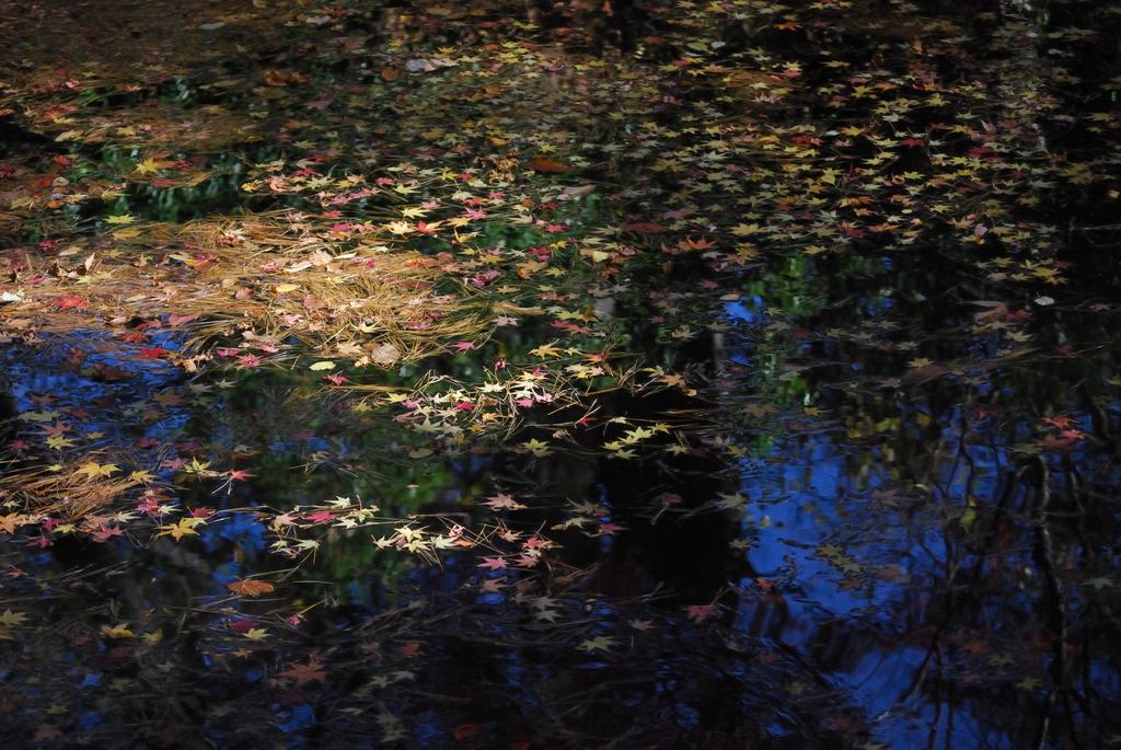 池に浮かぶ落紅葉