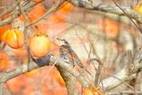 柿の木のツグミ