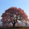孤高の桜さん、また来年