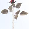 不思議な薔薇