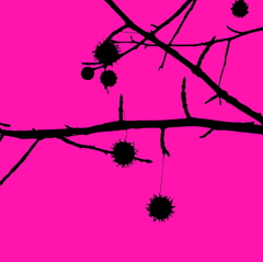 アメリカ楓の実