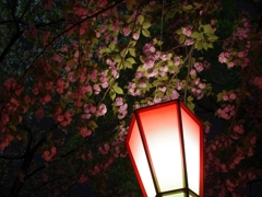 造幣局の夜桜 その2