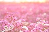 秋桜色々Ⅰ
