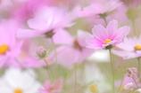 秋桜色々Ⅱ