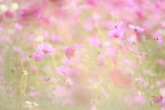 秋桜色々Ⅲ