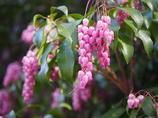 春の千鳥ヶ淵に咲く花 アセビ