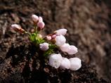 春の千鳥ヶ淵に咲く花 ソメイヨシノ