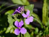 春の千鳥ヶ淵に咲く花 ムラサキハナナ