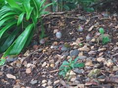 ラミントン国立公園の小鳥
