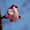 河津桜 咲き始めました