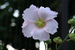 薄ピンクの立葵