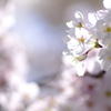木漏れ日に染まる桜