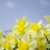 水仙と春の空
