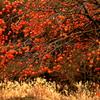 山里の忘柿