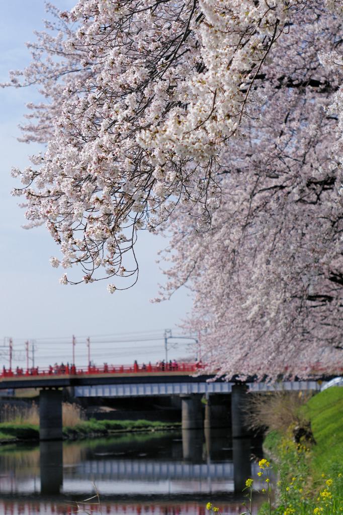 大手橋とさくら