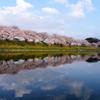 五条川に映り込む桜並木