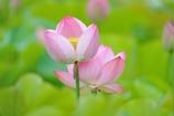 LotusⅡ