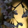 日暮れと桜