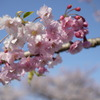 大江川の桜3