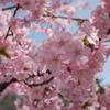 河津寒桜3