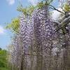 岡崎城の藤