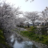 五条川の桜2