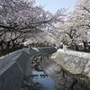 大江川の桜