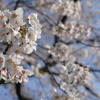 大江川の桜2