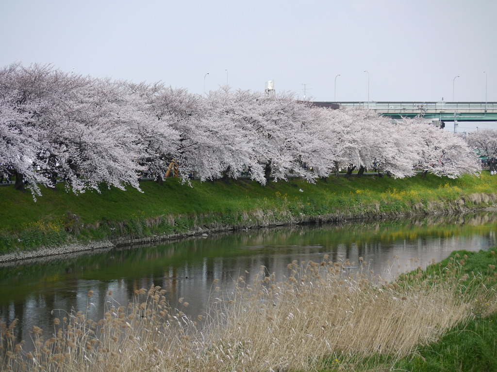 五条川のさくら(清洲城)