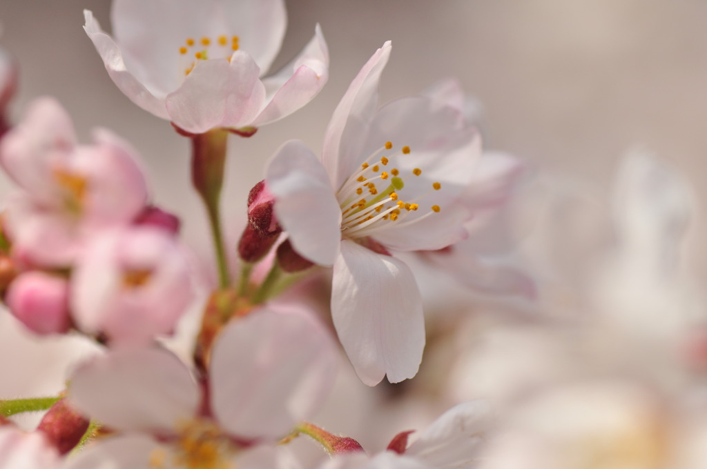 葬春花 ~さくら~ #2