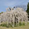 上賀茂神社・御所桜