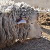 羊が…匹……
