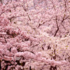 わさわさ桜