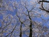 桜の森・・木々の囁き