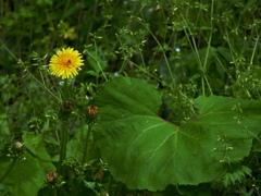 こんにちは、山野草です。春 本番です!私たちに会いに来てくださいm(__)m