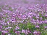 5月5日、田んぼにレンゲがいっぱいでした