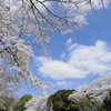 青い空、白い雲、そよぐ風に満開の桜・さくら・サクラ