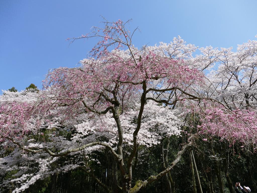2015年 春 桜 最終回