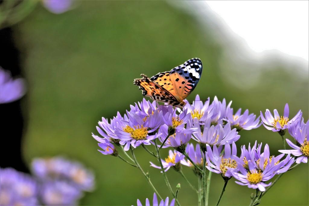 秋・・花と蝶