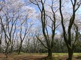 桜の森に寛いで