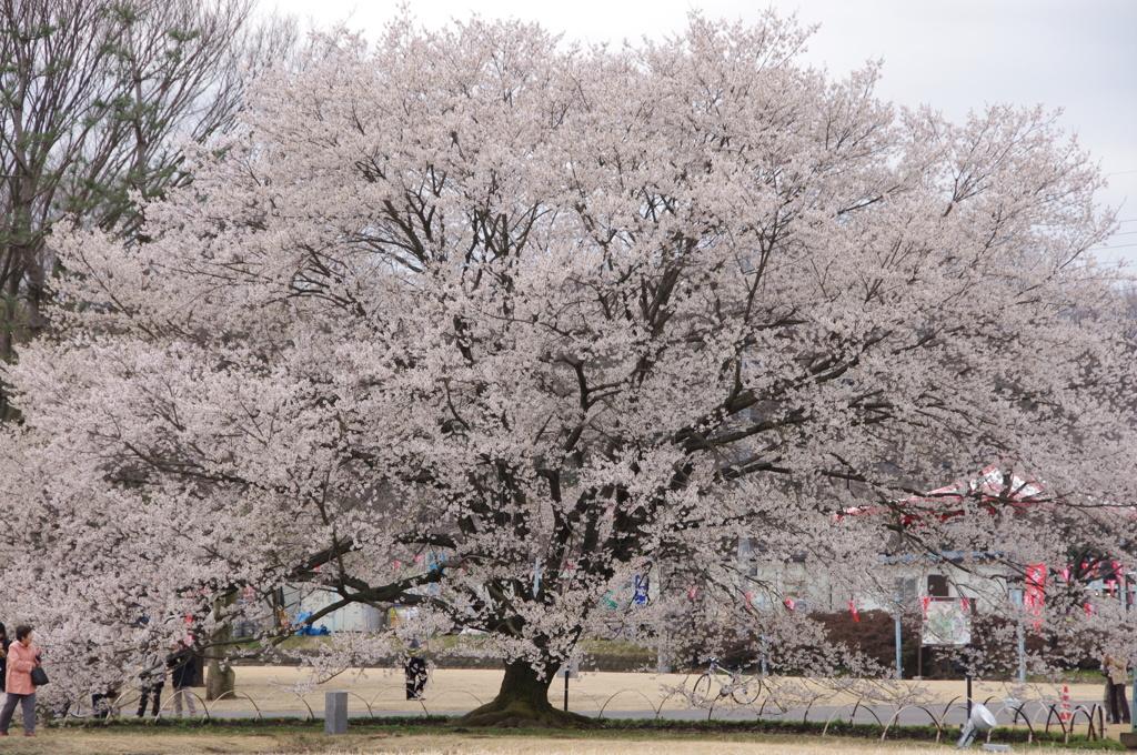 天平の丘公園内の淡墨桜