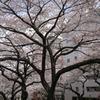 sakura20110410_09