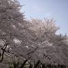 sakura20110410_14