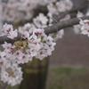 sakura20110410_22