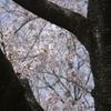 sakura20110410_01