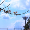 晴れのち桜