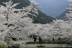 桜 一の坂川