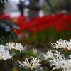 紅白咲き合戦