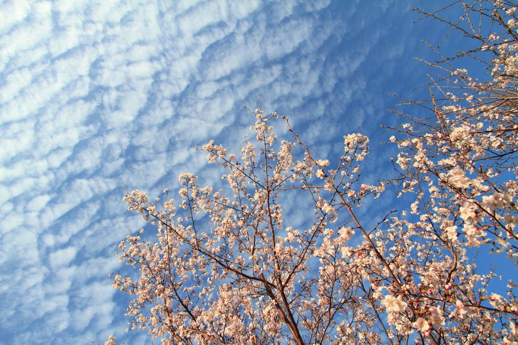 うろこ雲と桜